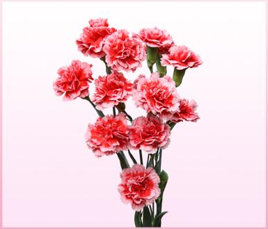 康乃馨是神圣之花,关爱之花