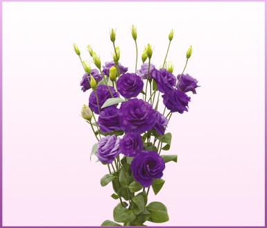玛莉紫色 (mariachi blue)-洋桔梗(lisianthus)-缤纷