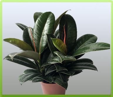植物; 橡皮树; 盆栽绿植物室内花卉办公盆景橡皮树|黑金刚|绿植花卉