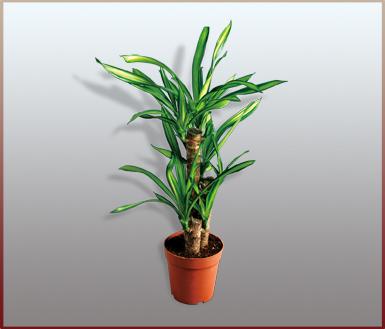 科龙血树属植物